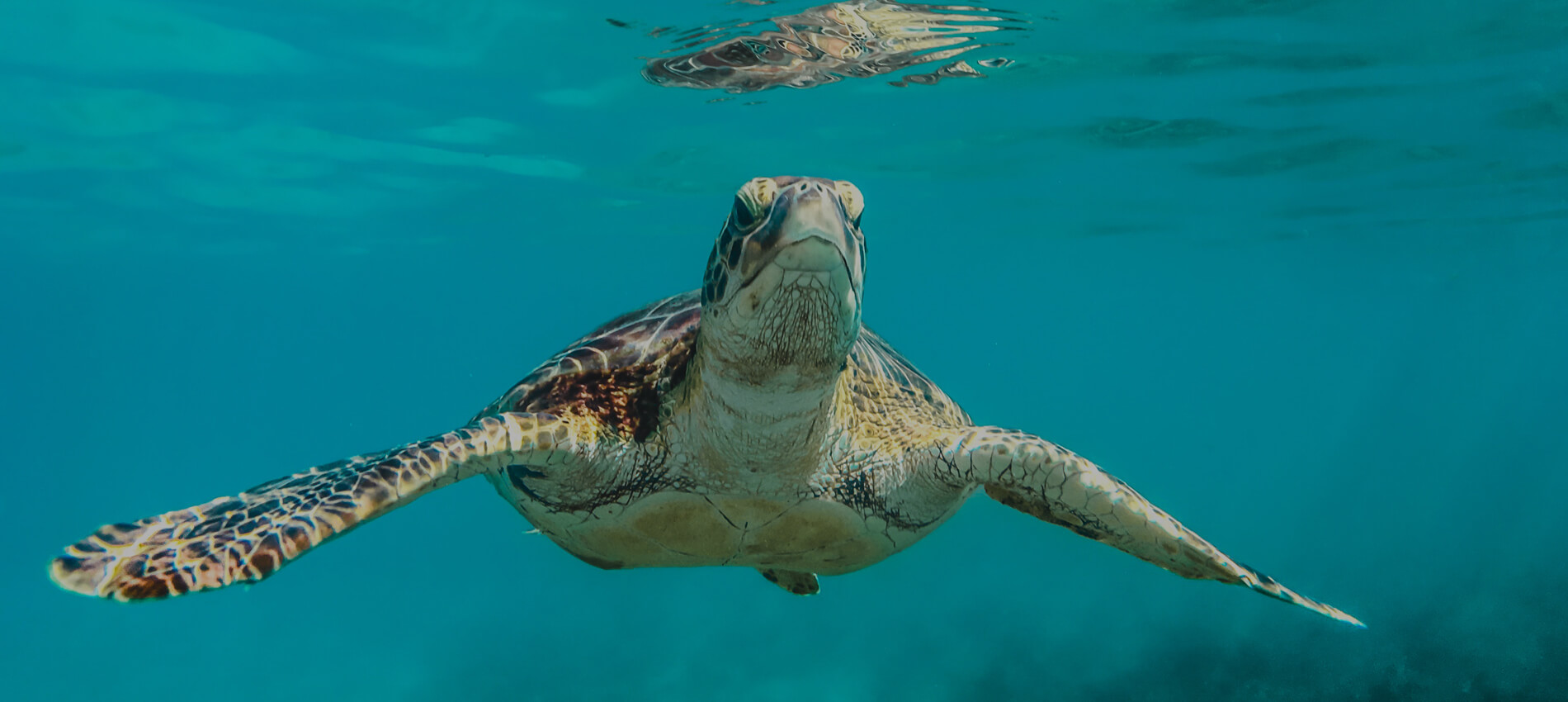 Small Ship Voyages Book Luxury Cruises with Atlas Ocean Voyages - Swimming with Sea Turtles